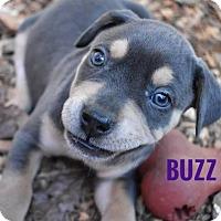 Adopt A Pet :: Buzz - Milton, GA