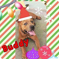 Adopt A Pet :: Buddy* - Tampa, FL
