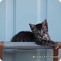 Domestic Shorthair Kitten for adoption in Leesburg, Florida - Toby