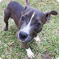 Adopt A Pet :: Kayla - Gainesville, FL