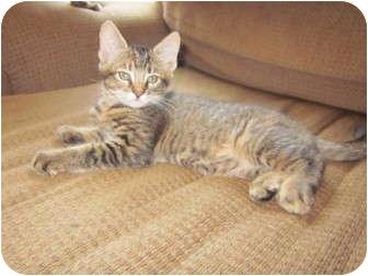 Domestic Shorthair Kitten for adoption in Davis, California - Dreamweaver
