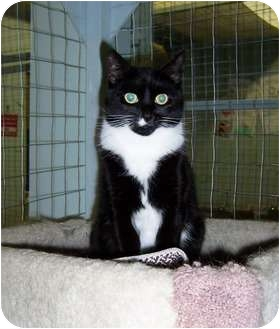 Domestic Shorthair Cat for adoption in Mission, British Columbia - Noodles