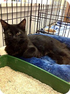 Domestic Longhair Kitten for adoption in Chandler, Arizona - Dragon