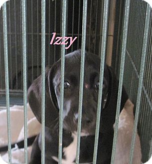 Basset Hound/Boxer Mix Puppy for adoption in Linden, Tennessee - Izzy
