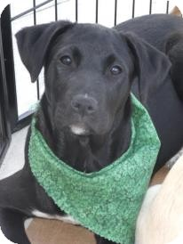 Labrador Retriever/Boxer Mix Puppy for adoption in Huntsville, Alabama - Zoe