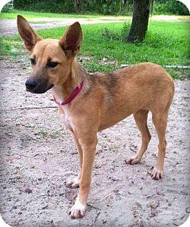 Mocha | Adopted Puppy | Groveland, FL | Belgian Malinois ...