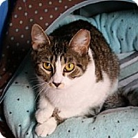 Domestic Shorthair Cat for adoption in Jenkintown, Pennsylvania - Adele