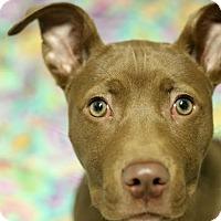 Adopt A Pet :: Iva - Parker, CO
