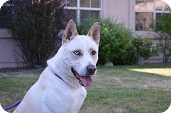 Husky Mix Dog for adoption in Portola, California - Diesel