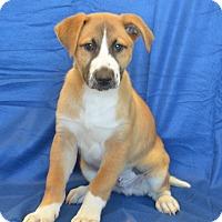 Shepherd (Unknown Type)/Chow Chow Mix Dog for adoption in New Iberia, Louisiana - Wallie