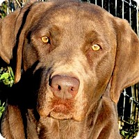 Adopt A Pet :: CHARLIE(WOW!! ONE GORGEOUS LAB - Wakefield, RI