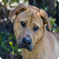 Adopt A Pet :: HENRY - West Palm Beach, FL