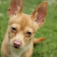 Chihuahua Dog for adoption in Romeoville, Illinois - Qbert