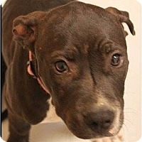 American Pit Bull Terrier Mix Puppy for adoption in Weatherford, Texas - Daisy