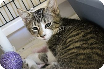 Domestic Shorthair Kitten for adoption in Medina, Ohio - Drake