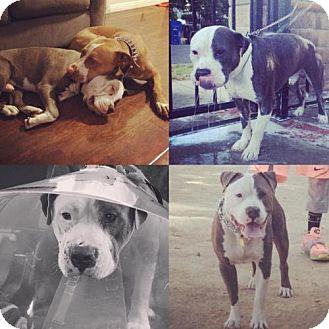 Pit Bull Terrier Dog for adoption in Santa Monica, California - Marlo