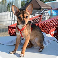 Chihuahua Dog for adoption in Hopkinsville, Kentucky - Tiger
