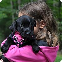 Adopt A Pet :: Sugar - Sparta, NJ