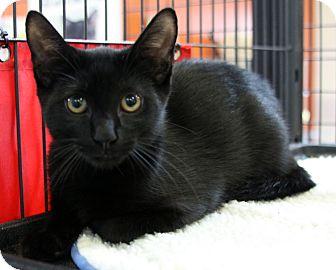 Domestic Shorthair Kitten for adoption in Sarasota, Florida - Boyd