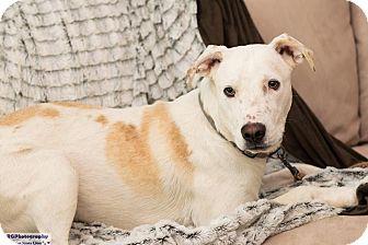 Labrador Retriever/Collie Mix Dog for adoption in boston, Massachusetts - Sawyer