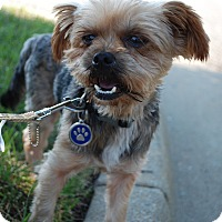 Yorkie, Yorkshire Terrier/Terrier (Unknown Type, Small) Mix Dog for adoption in Richmond, Virginia - Arlo