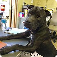 Adopt A Pet :: OSO - Cadiz, OH