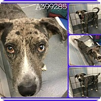 Catahoula Leopard Dog Mix Dog for adoption in CASCADE, Wisconsin - Parker
