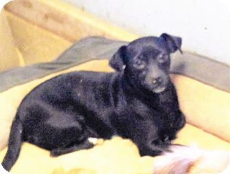 Chihuahua/Dachshund Mix Dog for adoption in Columbia, Kentucky - Angel