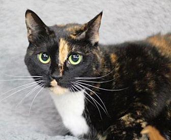 Domestic Shorthair Cat for adoption in Raleigh, North Carolina - Sascha