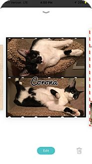 Domestic Shorthair Kitten for adoption in Mount Laurel, New Jersey - Corona