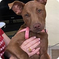 Adopt A Pet :: Red - Key Biscayne, FL