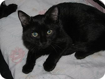 Domestic Shorthair Kitten for adoption in Speonk, New York - Christie