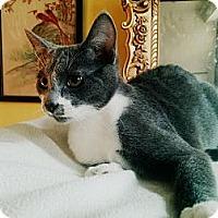 Adopt A Pet :: **Selina Kyle** - St. Louis, MO