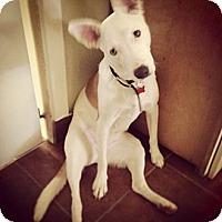 Adopt A Pet :: Sage - San Francisco, CA