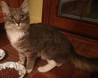 Domestic Mediumhair Cat for adoption in Brooklyn, New York - Cupcake