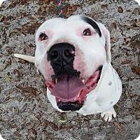 Adopt A Pet :: Gumbo - Gainesville, FL