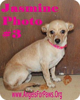 Chihuahua Mix Dog for adoption in Humble, Texas - JASMINE