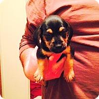 Adopt A Pet :: Diego - Charlemont, MA