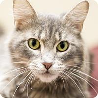 Domestic Longhair Cat for adoption in Chicago, Illinois - Aurora