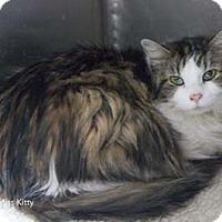 Adopt A Pet :: Miss Kitty - Merrifield, VA
