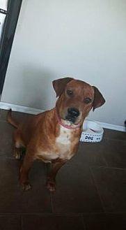 Labrador Retriever Mix Dog for adoption in Oklahoma City, Oklahoma - Nova