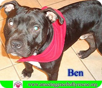 American Pit Bull Terrier Mix Dog for adoption in Pensacola, Florida - Ben