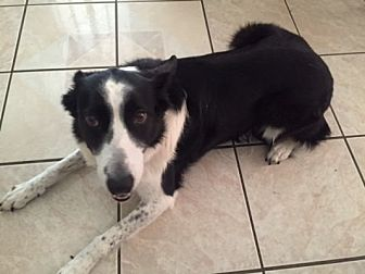 Border Collie Dog for adoption in Minerva, Ohio - Lacy 'ADOPTED""