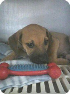 Boxer Mix Dog for adoption in Dawson, Georgia - Miller