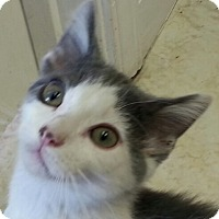 Adopt A Pet :: Blue - Lexington, KY