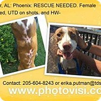 American Pit Bull Terrier/Hound (Unknown Type) Mix Dog for adoption in Butler, Alabama - Phoenix