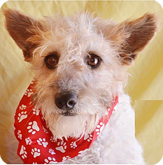 Terrier (Unknown Type, Medium) Mix Dog for adoption in Littlerock, California - Toodles