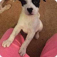 Adopt A Pet :: Loki - oklahoma city, OK