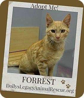 Domestic Shorthair Cat for adoption in Lincoln, Nebraska - FORREST