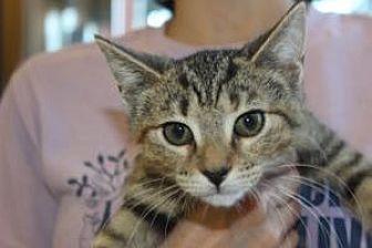Domestic Mediumhair Kitten for adoption in Louisville, Kentucky - Thelma